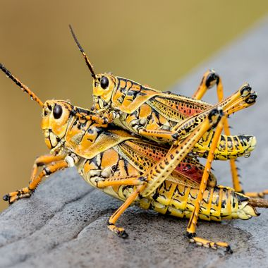 Grasshoppers after the Rain