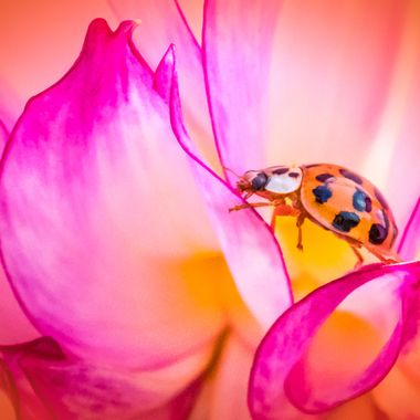 Dahlia Lady Beetle
