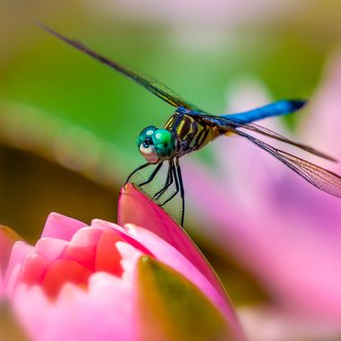 Water Lily Dragonfly
