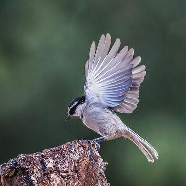 Mountain Chickadee-4018