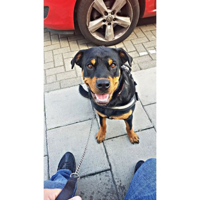 Rescued rottie