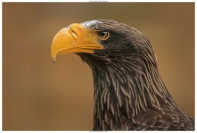 Steller's Sea Eagle In Portrait
