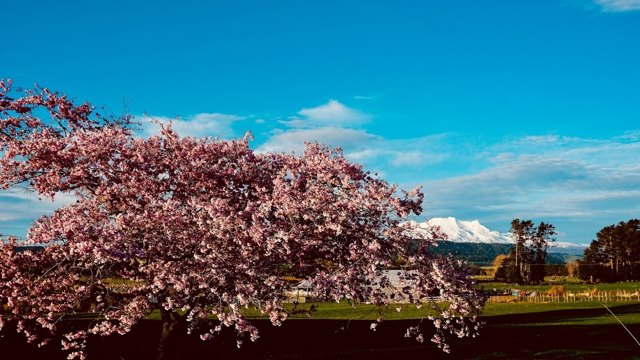 Here in New Zealand it's Springtime....and the little mountain/volcano in the background sits in the middle of the North Island, for Hobbit fans, that's Mordor.