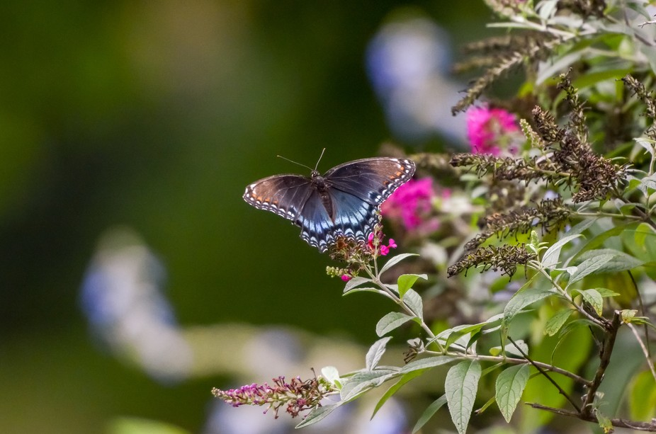 Red Spotted Purple balancing the blues.