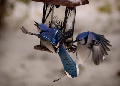 Blue jays in Flight