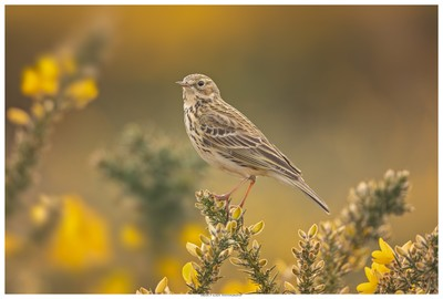 Meadow Pipit On Gorse