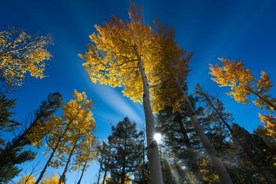 Backlit Aspens in Colorado