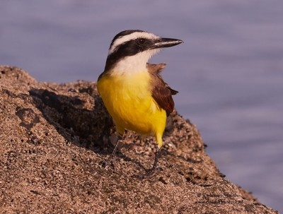 Great kiskadee watching you during sunrise  - Pitangus sulphuratus - Photo by Robson Smith