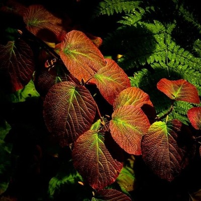 Light, color,texture. Hobblebush and ferns.  #hobblebush #ferns #fallcolors #texture #morninglight #hiking #siamesepondswilderness #adk #canon_photos #canonphotography #tree_captures #naturyst #naturalnewyork #adkphotoclub #got_greatshots #zonephotographe
