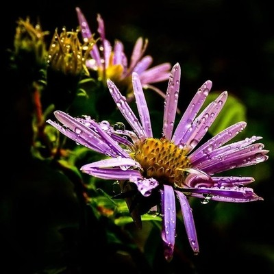 Rainy day New England Asters.  #trailsend #newenglandaster #rainyday #wildflowers #raindrops #macro #wildflowerphotography #fallflowers #macrophotography #outthebackdoor #backyardnature #canon_photos #canonphotography #top_macro #raw_flowers #pocket_flowe