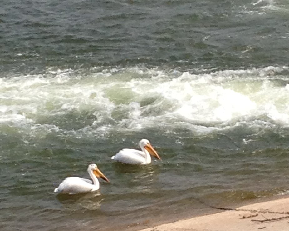 Pelicans in the River