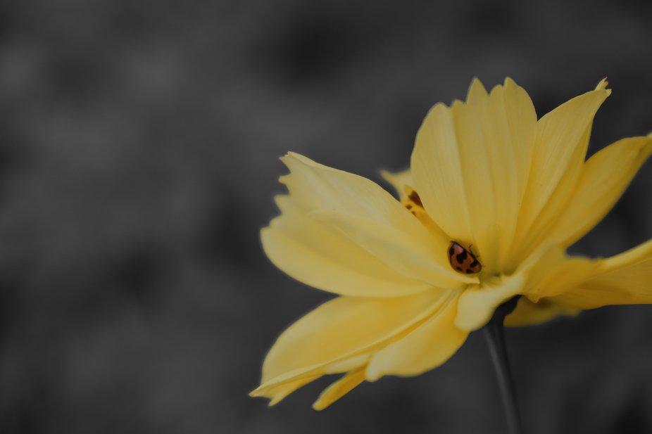 Ladybird on Cosmos