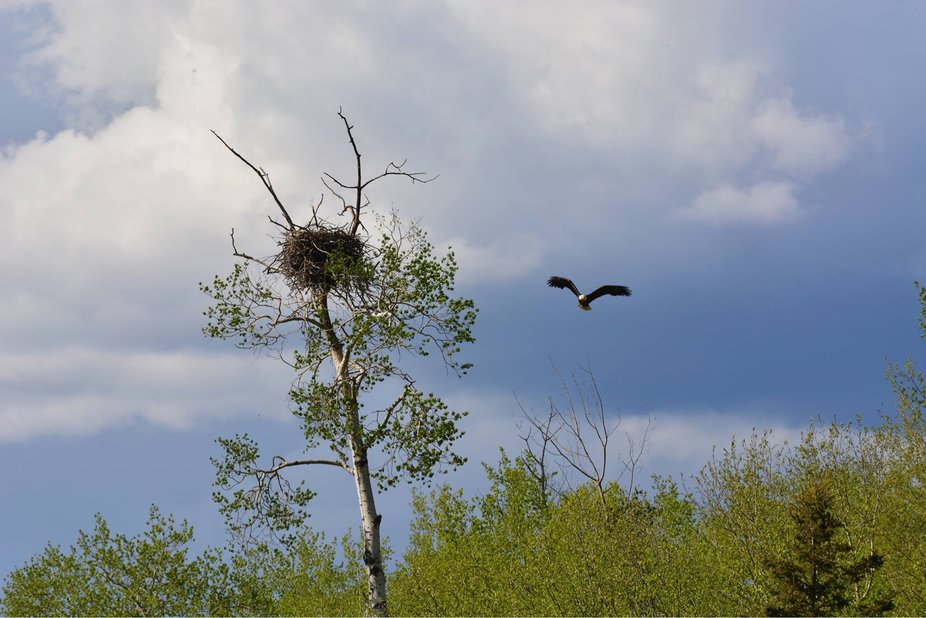 Flying mama eagle guarding her nest!