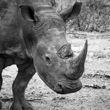 Rhinoceros B&W
