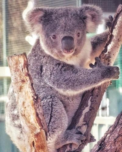 Breakfast time for the koalas means there's a good chance for a photo op! #koala #wildlifezoo #darlingdowns #Hey_ihadtosnapthat #australiagram #focusaustralia #australia_shotz #ig_down_under #ig_creativephotography #instalike #ig_aussiepix #1more_australi
