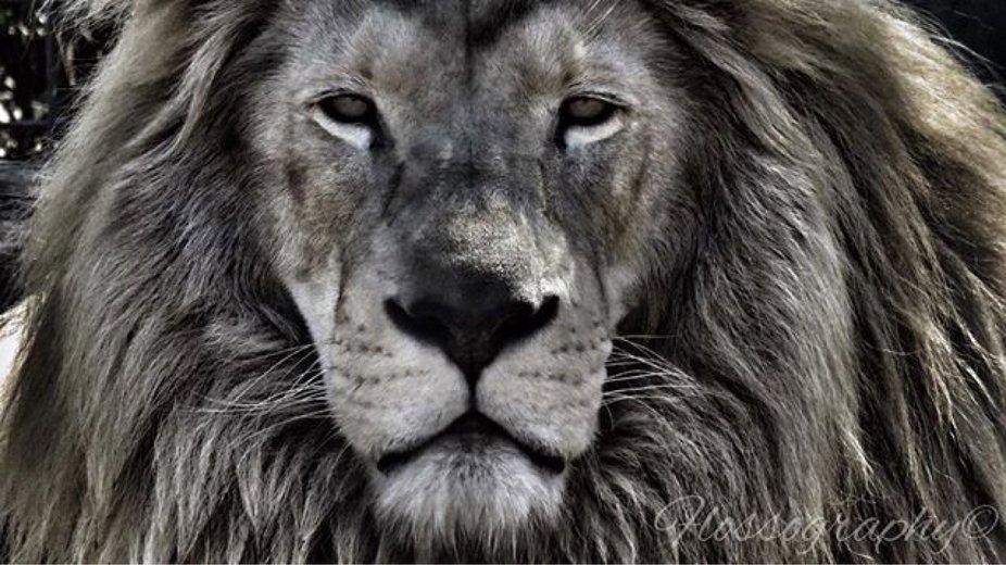 That face! #whitelion #powerfullion #majestic_wildlife_ #majestic #lionsofinstagram #darlingdowns...