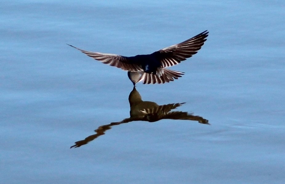 A small local pond was a great attraction for what seemed like hundreds of tree swallows.  They s...
