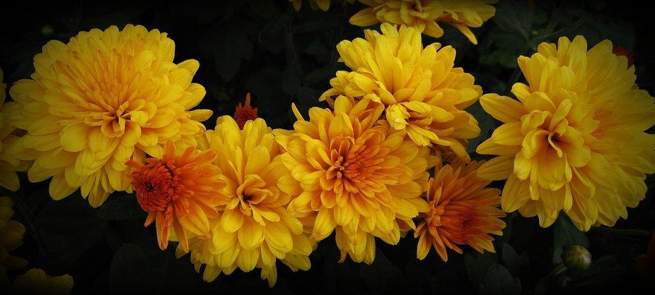 Beautiful Bloom Smiles of Autumn... Mums... I