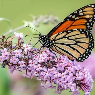 Summer's last Monarch
