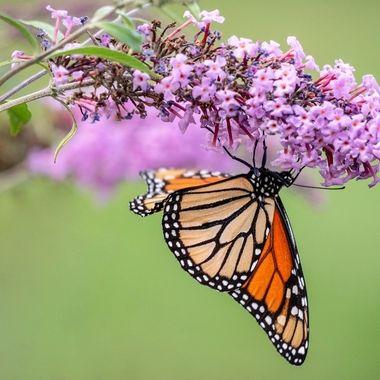 Crazy upside down monarch