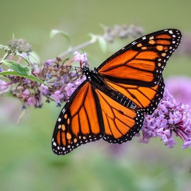 Monarch wingspan