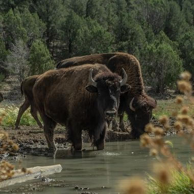 Buffalo near Zion