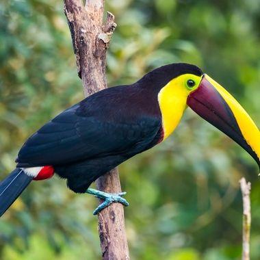 Black Mandibled Toucan-9952