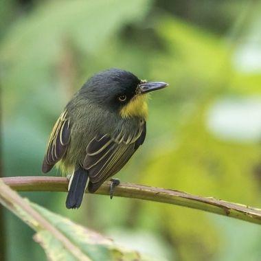 Common Tody Flycatcher-0502