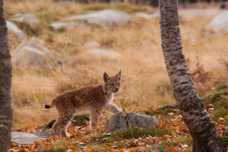 A 4 month old lynx boycub posing for the camera