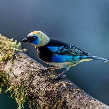 Golden Hooded Tanager-8317