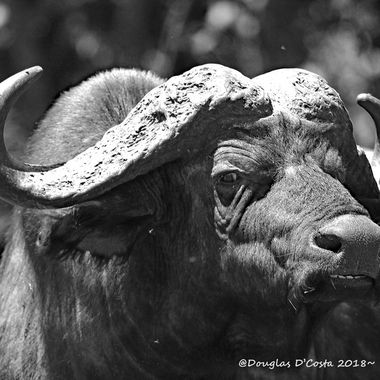 African Cape Buffalo (no caged animals please)
