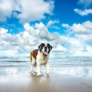 My Saint Bernard Hebbes, enjoying the beach at Texel, Holland