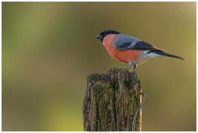 Bullfinch (Male) On A Post