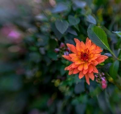 Chrysanthemum  Through a Lensbaby