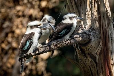 Kookaburra family