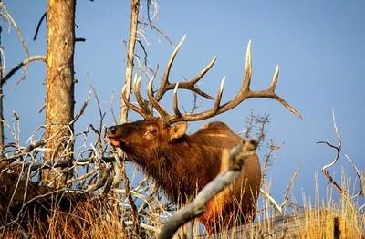 Beautiful elk bugling