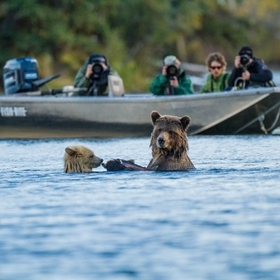 Blond cub Casper and mom share a salmon snack in a river in central British Columbia while a second group of photographers look on.
