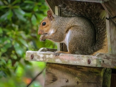 A squirrel eating from the bird house. Thief!