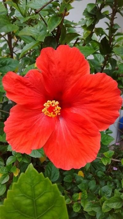 Hibisco vermelha