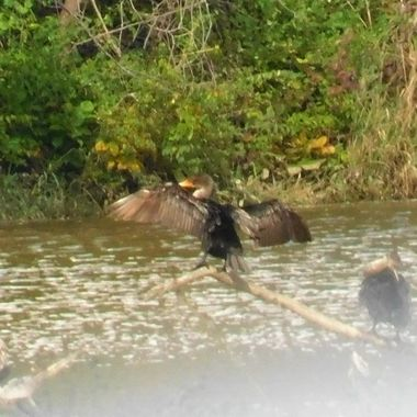 Cormorant Sunning with flood waters below
