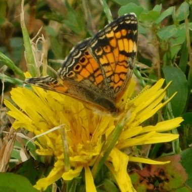 Painted Lady on Dandelion