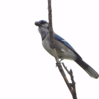 Blue Jay With Food