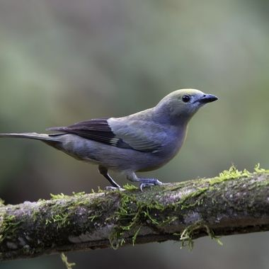 Palm Tanager IMG_8541