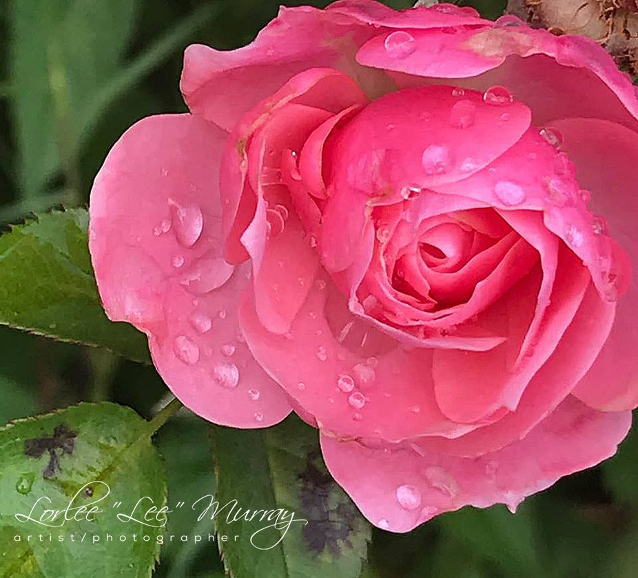 Love the water resting early morning on this gorgeous pink rose