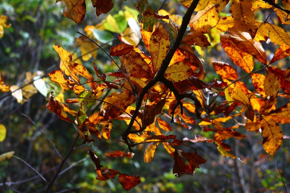 Hickory leaves back lit by the sun contrast the the stick with orange and yellow colors.  A green background from other plants having not yet turned.