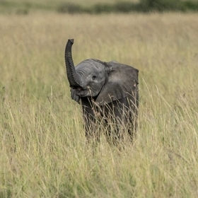 Baby Elephant trunk up