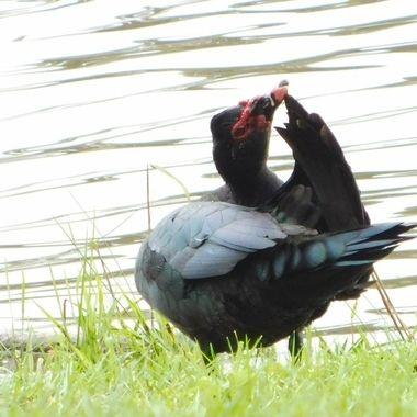 Preening Muscovy Duck