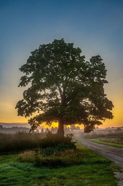 Big Maple Sunrise