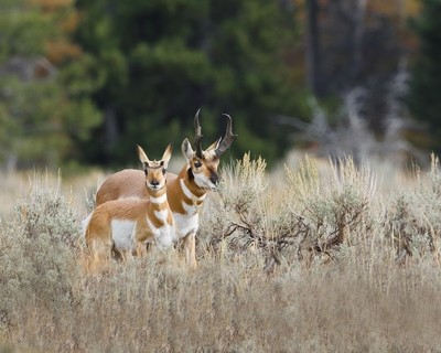 _M1A7550 Pronghorn doe has spottted the photographer