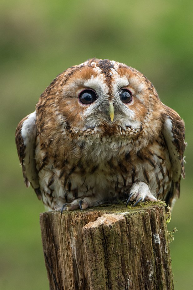 Tawny Owl by neilmcdonald - Beautiful Owls Photo Contest